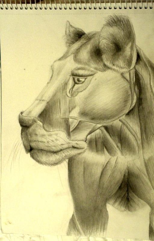 lion_anatomy_head | Maltakreuz рисует львиц и не только
